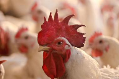 Chicken processing plants now get to act as their own inspectors.